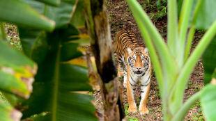 Osaczyło ich stado tygrysów. Pięć dni spędzili na drzewach