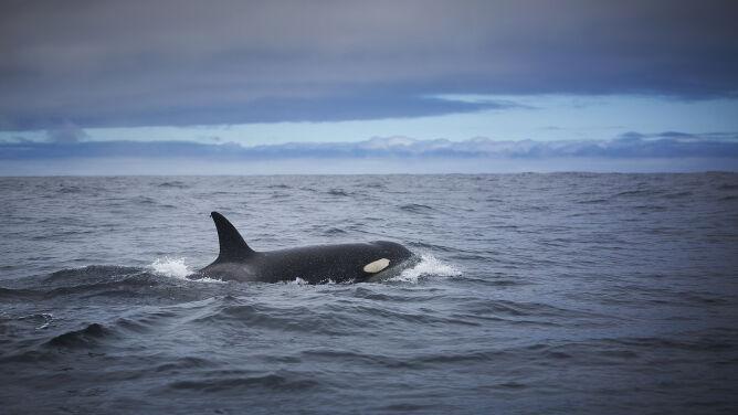 Orki atakują łodzie u wybrzeży Hiszpanii. Zachowanie ssaków niepokoi naukowców