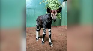 W londyńskim zoo urodziło się okapi