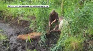 Ratowanie jelenia w Nadleśnictwie Browsk