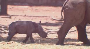 11-letnia Rihanna urodziła trzeciego nosorożca